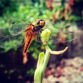 Dragonfly by Mrinmoy Maity - Instagram & Mobile Android ( #mobile_macro #dragonfly #macro #wild_life #insects )