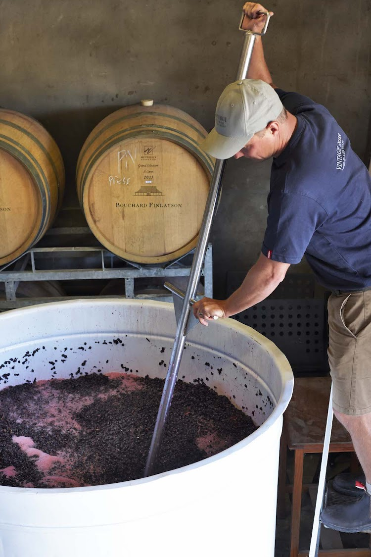 Winemaker Chris Albrecht punching down red grapes.
