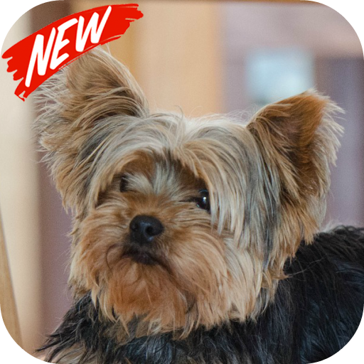 Yorkshire Terrier Applications Sur Google Play