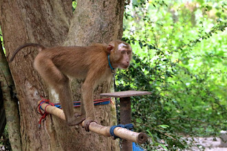 Photo: a juvenile pigtail macaque at the Kadaejae Monkey Training School in Surat Thani province, where monkeys are trained to pick coconuts