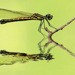 landed by Bobby Worotikan - Animals Insects & Spiders ( animal insect damselfly macro )