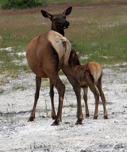 Cow Elk Wallpapers HD FREE