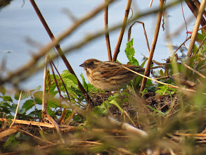 Photo: Priorslee Lake A female Reed Bunting. Subtle colours indeed. (Ed Wilson)