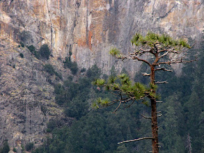 Photo: Tunnel View tree against floor of Bridalveil area , Day 1. SX. #2150