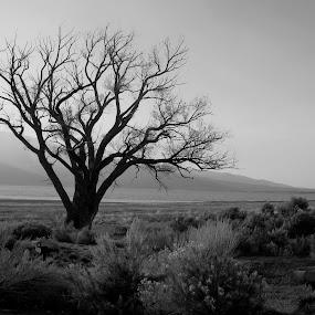 Washoe Lake Tree by John Shelton - Uncategorized All Uncategorized ( desert, tree, black and white, nevada, landscape,  )