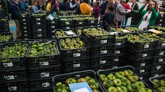La cooperativa CASI es la mayor comercializadora de tomate de Europa.