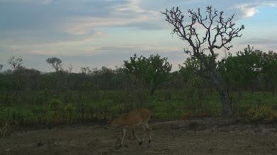 Photo: A duiker in early morning; Um bambi de manhã cedo.