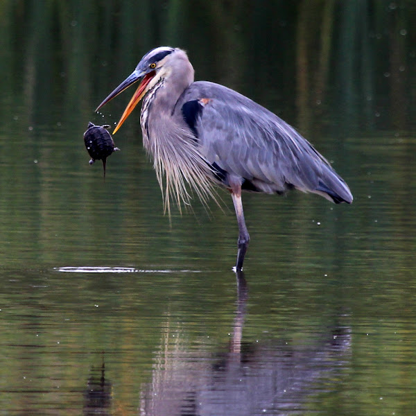 great blue heron eating a snapping turtle project noah