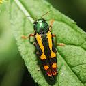 Red-legged Buprestis (?)