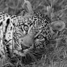 Ximpalapala by Anthony Goldman - Black & White Animals ( leopard, feline, predator, londolozi, b & w, big cat, wild, wildlife )