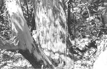 Photo: Chief Ranger Jim Liles measured our state champion Arizona Cypress in 1982 and his photos made it easy to find...
