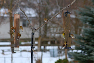 Photo: A few American Goldfinches at the feeders for #BackyardBirdingMonday curated by +Celeste Odono and +Ricky L Jones. I have a few shots still on the camera from today that I hope to post before midnight. Happy Monday everyone!
