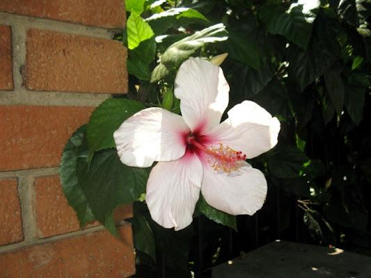 Fiore bianco di scapigliata