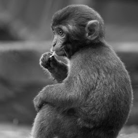 macaque by Patrick Robert - Black & White Animals ( macaque,  )