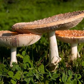 by Vicki Switala Riley - Nature Up Close Mushrooms & Fungi ( mushrooms, yard, white, fungi, brown,  )