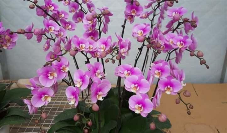 Điểm danh những màu hoa lan hồ điệp đẹp ý nghĩa nhất