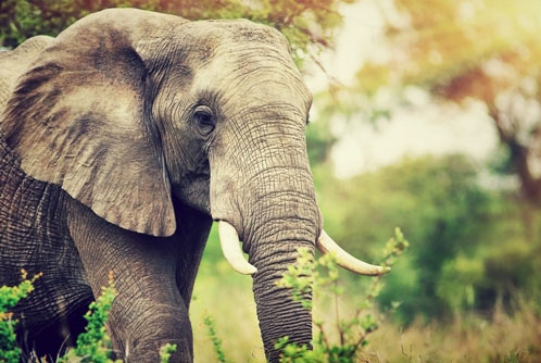 Elephant can reach a speed of 35-40km/h when running in short bursts.