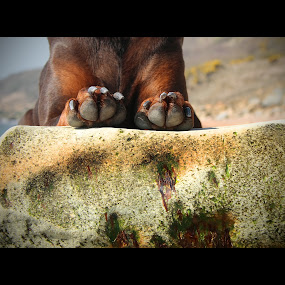 Paws For Effect by Nigel Finn - Animals - Dogs Portraits ( chestnut, rock, brown, paws, dog, doberman )