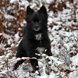 snowdog by Mick Leppien - Animals - Dogs Playing