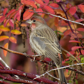 House Finch by Nick Swan - Animals Birds ( fall, nature, autumn, house finch, wildlife )