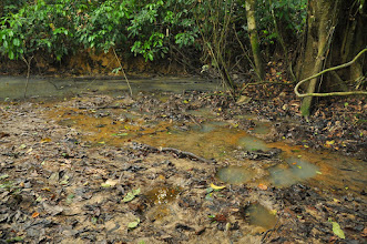 Photo: forest elephant footprints with clawed frogs inside