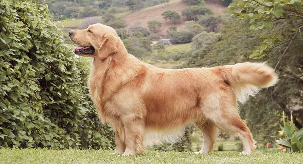 Image result for Golden retriever pet hair