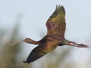 Photo: Glossy Ibis in Quintana Winters