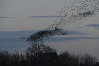 Photo: Murmuration of starlings, Nosterfield © Keith Gittens 2015