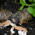 Mating snails