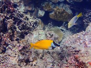 Photo: Siganus vulpinus (Foxface Rabbifish), Miniloc Island Resort reef, Palawan, Philippines.