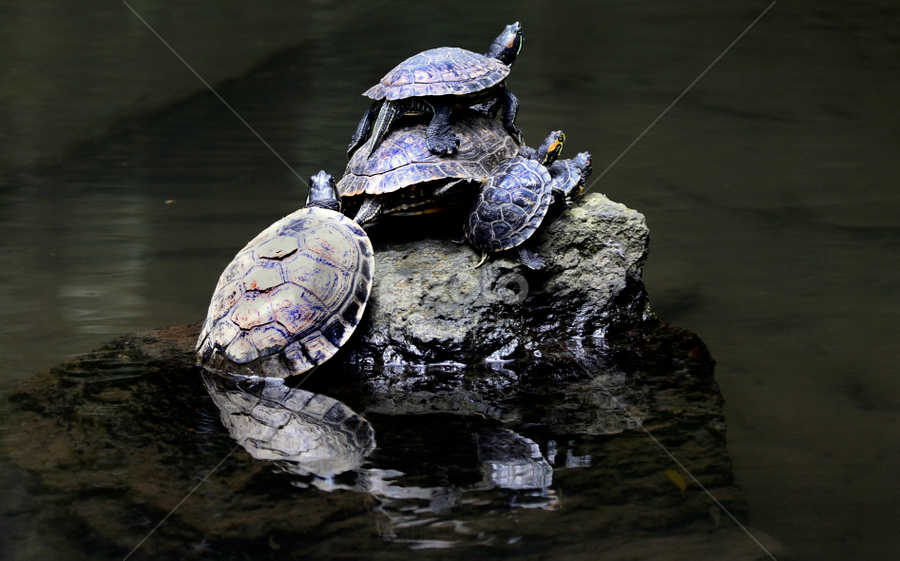All together by Cristobal Garciaferro Rubio - Animals Reptiles ( water, family, rock, turtle )