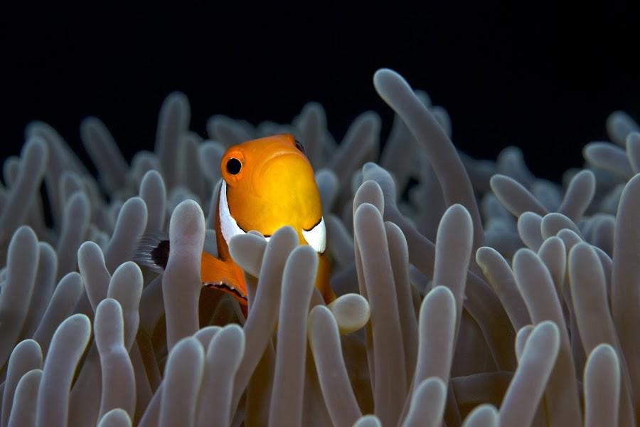 Anemone fish by Henry Jager - Animals Fish ( jager, water, orange, underwater, unterwasser, philippinen, amphiprion ocellaris, wildlife, sea, weiss, orange-ringel anemonenfisch, ocean, conartix, photography, meer, macro, nature, cabilao, henry, marine life, clownfish, nemo, false clown anemonefish )