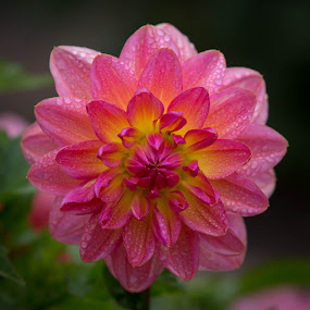 Just A Hint Of Yellow by Janet Marsh - Flowers Single Flower ( pink, dahlia, dew, san francisco )