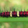Tamil Lacewing caterpillar