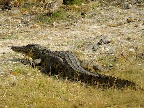 Photo: Massive crocodiles basking in the sun on the riverbank.