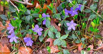 Photo: Les pervenches. On va voir beaucoup de fleurs du printemps pendant la journée
