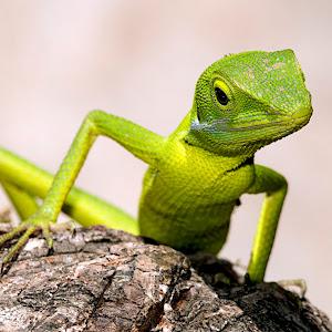 Green Crested Lizard 1.jpg