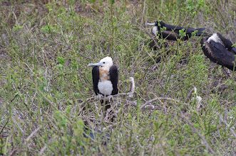 Photo: Baby Frigate Bird - they're evil