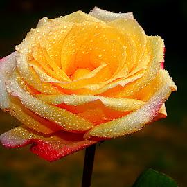 Rose 0021 by Gérard CHATENET - Flowers Single Flower