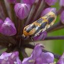 Common Spragueia