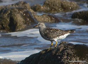 Photo: Surfbird on Matanchen Bay