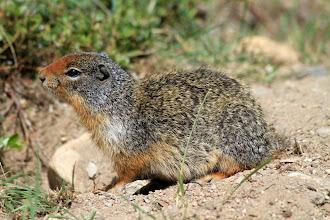Photo: Columbia Ground Squirrel = Erdhörnchen