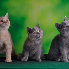 by Cacang Effendi - Animals - Cats Portraits