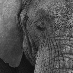 Lonely Elephant by John Haswell - Animals Other Mammals ( b&w, black and white, elephant, saddness, portrait,  )
