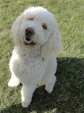 Photo: Alan Labradoodle