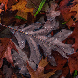 Morning Rain by Lisa Fitzthum - Nature Up Close Leaves & Grasses ( close up, rain, nature, autumn, leaf, water, lake )