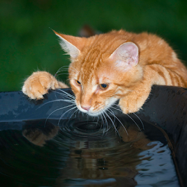 i love rainwater by Annette Flottwell - Animals - Cats Portraits ( zorrito, drinking, sed, thirst, gato, tomcat, ginger, cat, gatito, carreta, agua,  )
