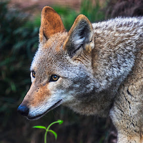 Coyote by Bruce Arnold - Animals Other Mammals (  )