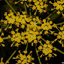 Flower of the Wild Parsnip