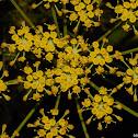 Flower of the Wild Parsnip